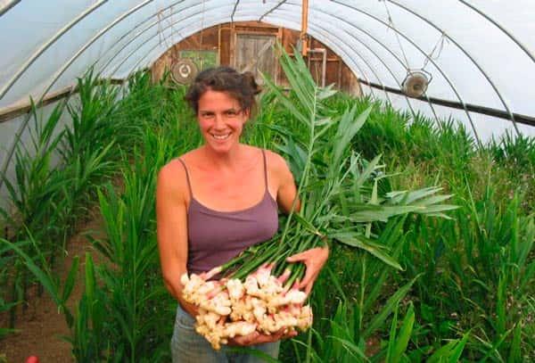 Имбирь выращивание в открытом грунте