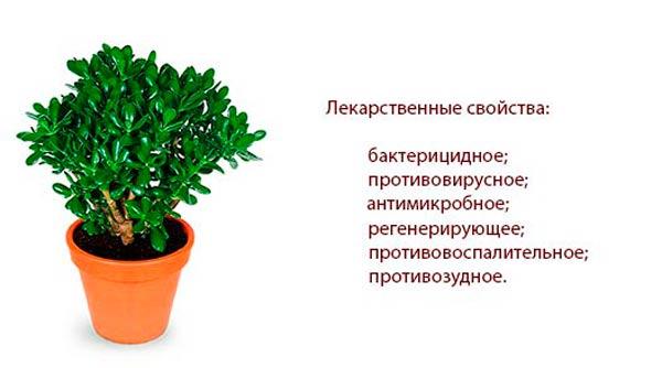 denezhnoe-derevo-lechebnye-svojstva-i-protivopokazaniya
