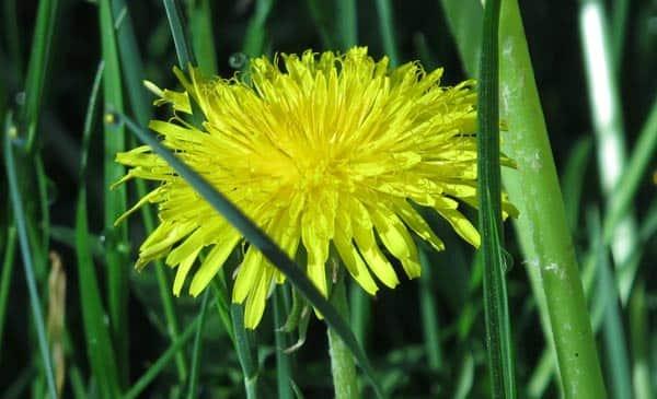 cvety-oduvanchika-lechebnye-svojstva-i-protivopokazaniya