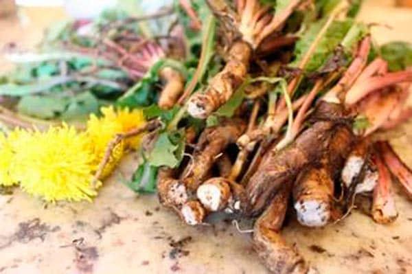 koren-oduvanchika-lechebnye-svojstva-i-protivopokazaniya