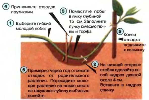 размножение-жимолости-отводкамиjpg
