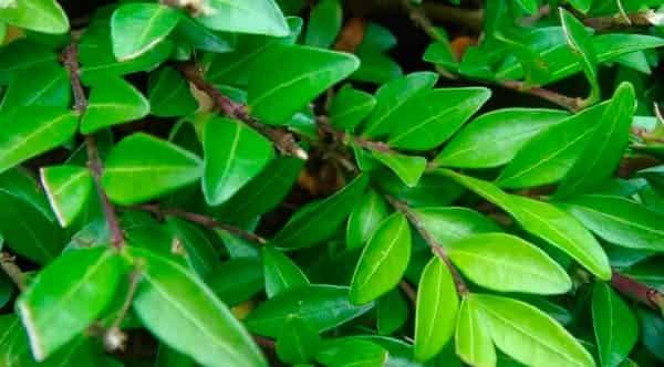 полезные-свойства-листьев-жимолости