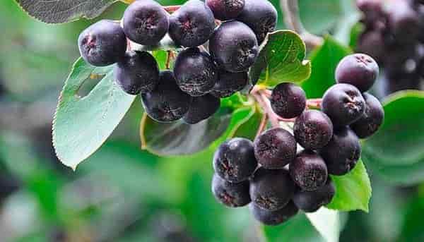 черноплодная-рябина-противопоказания