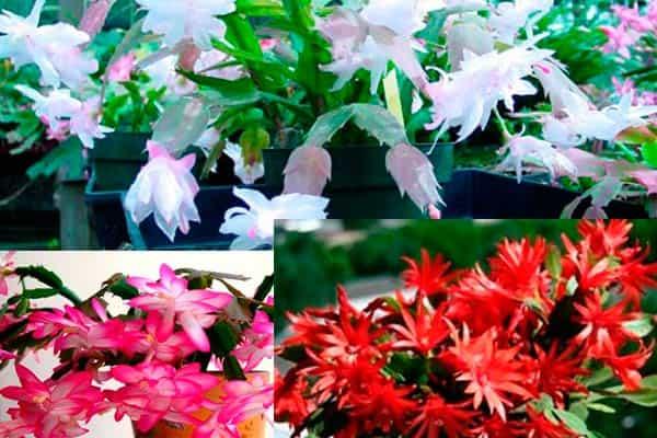 цветение-декабриста