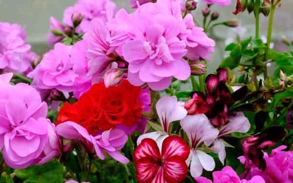 цветущая-герань