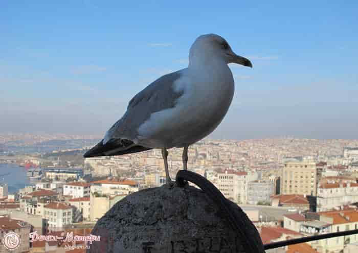 башня-галата-чайка