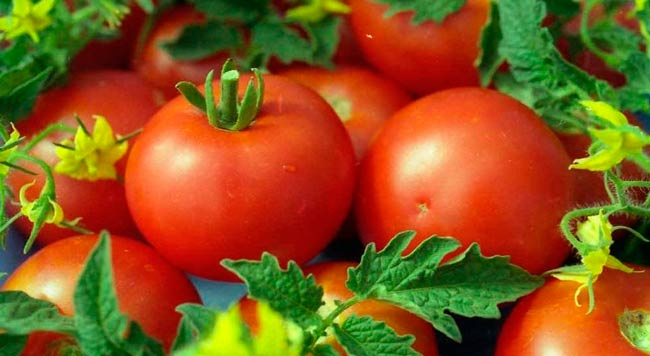 как-выбрать-сорт-помидор