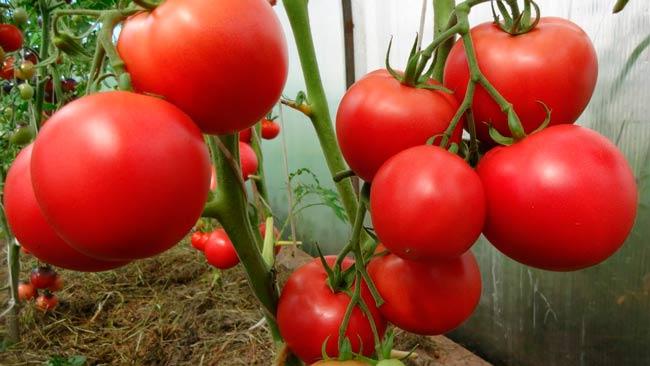 помидоры-в-теплице