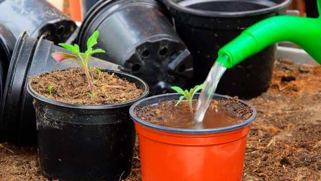 полив-рассады-помидор