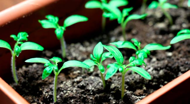 выращиваем-рассаду-помидор