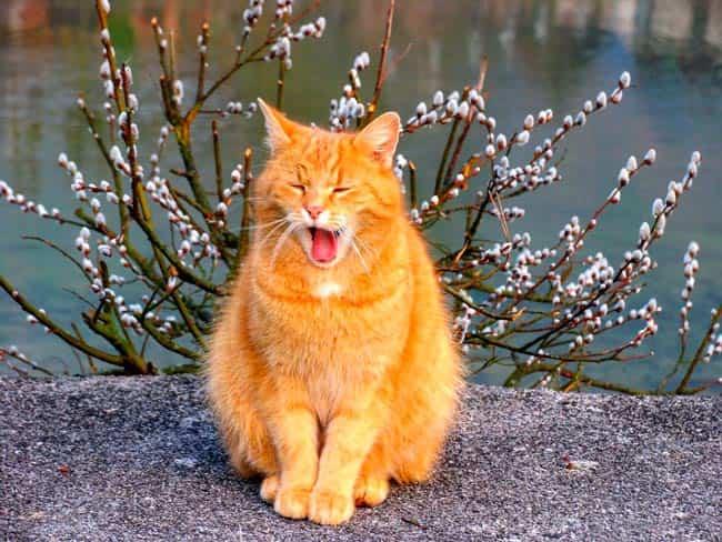 рыжий-мартовский-кот