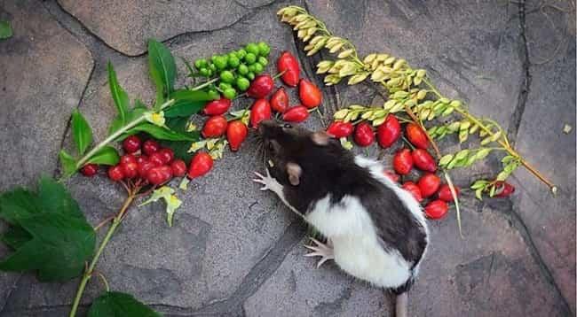 крыса-и-фрукты