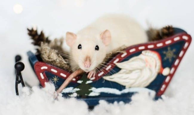 новый-год-крысы