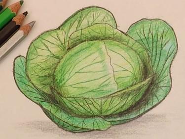 белокочанная капуста рисунок