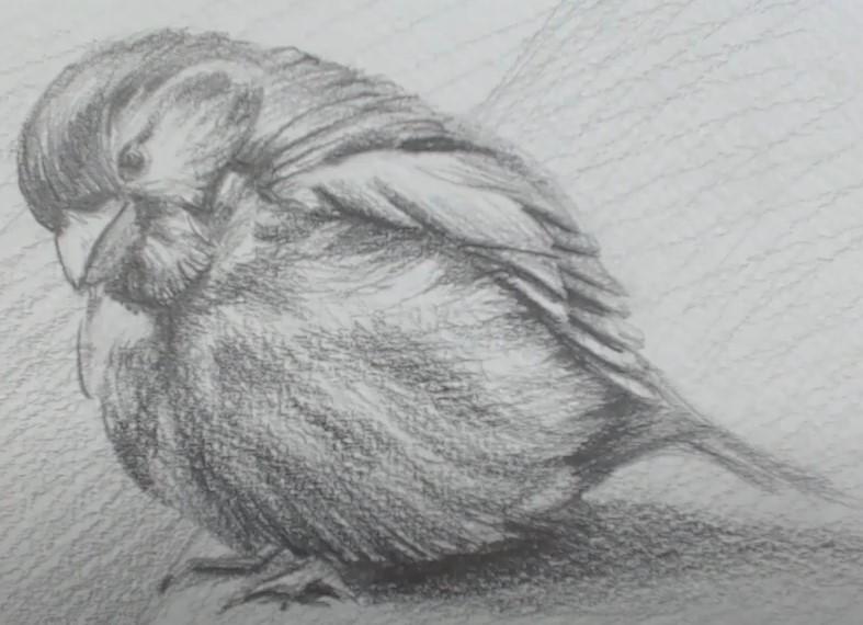 реалистичный птенчик простым карандашом