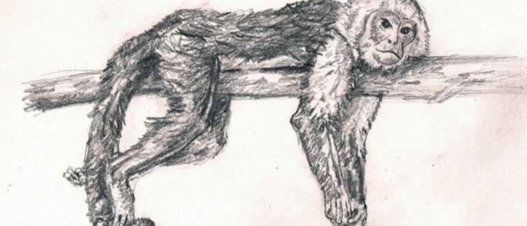 рисунок обезьяны простым карандашом