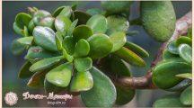 Денежное дерево: лечебные свойства и противопоказания