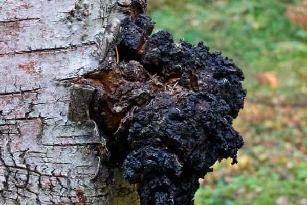 chaga-lechebnye-svojstva