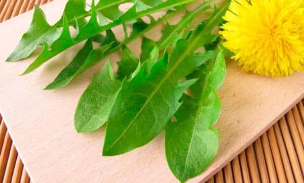 listya-oduvanchika-lechebnye-svojstva-i-protivopokazaniya