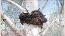 Чага (березовый гриб)— полезные свойства и противопоказания, применение