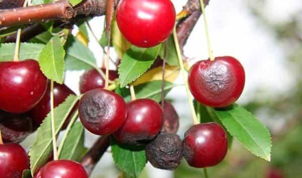 антракноз-вишни