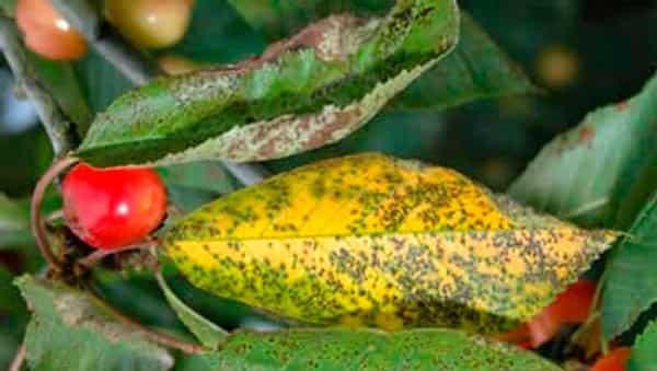 коккомикоз-вишни