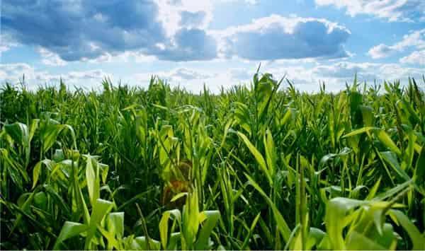 кукурузные-рыльца-как-собирать