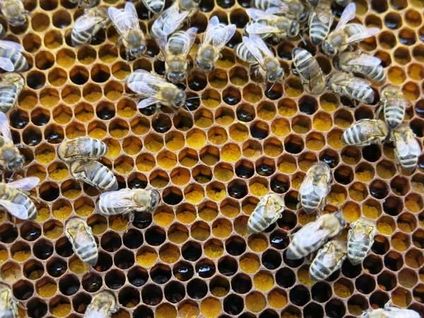 перга-пчелы