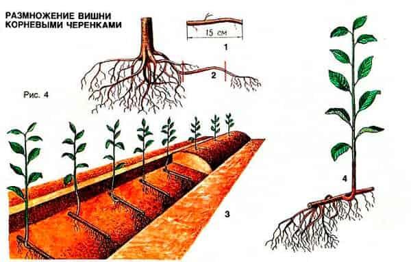 размножение-вишни-черенками