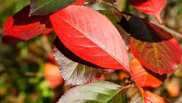 листья-черноплодной-рябины