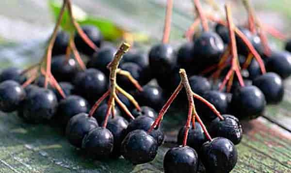 ягоды-черноплодной-рябиныl