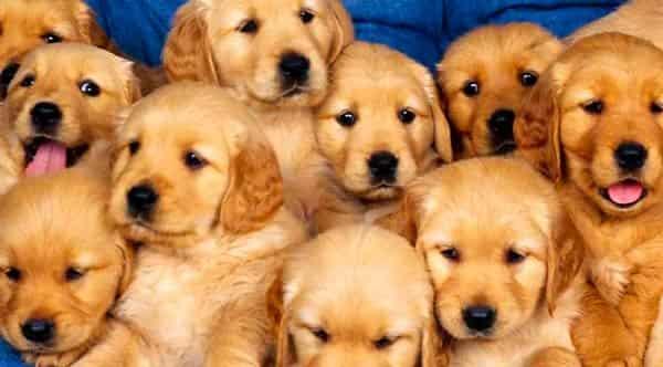 желтая-земляная-собака-характеристика-года
