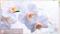 Орхидея— уход и размножение в домашних условиях, видео