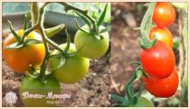 Лучшие сорта томатов (помидор) на 2021 год для теплиц и открытого грунта