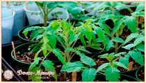 Когда и как сажать томаты (помидоры) на рассаду в 2022 году по лунному календарю