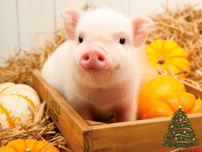 zheltaja-zemljanaja-svinja