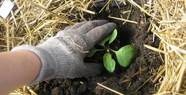 выращивание-баклажан