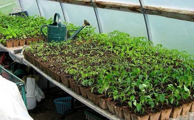 высаживаем-рассаду-в-теплицу