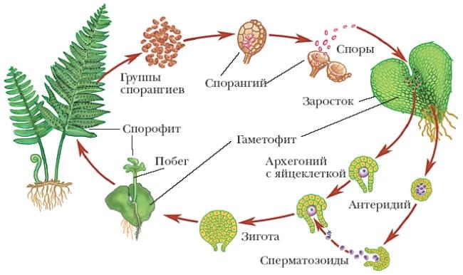 размножение-папоротника