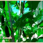 огурцы-на-балконе-летом